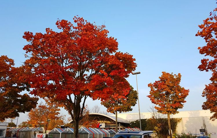 Tree Nature Sky Outdoors Day Beauty In Nature Red Leafs Colourful Sunshining Autumn🍁🍁🍁 City