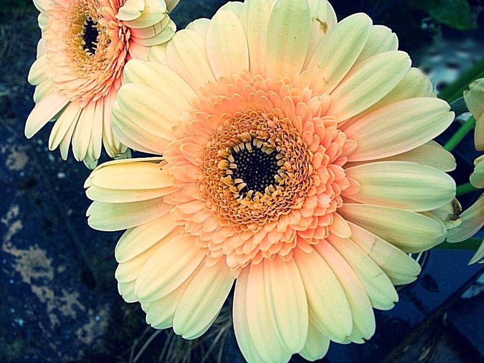 Flowers For My Friends Daisy Flower Peach Color Flower Collection Macro_flower Close-up