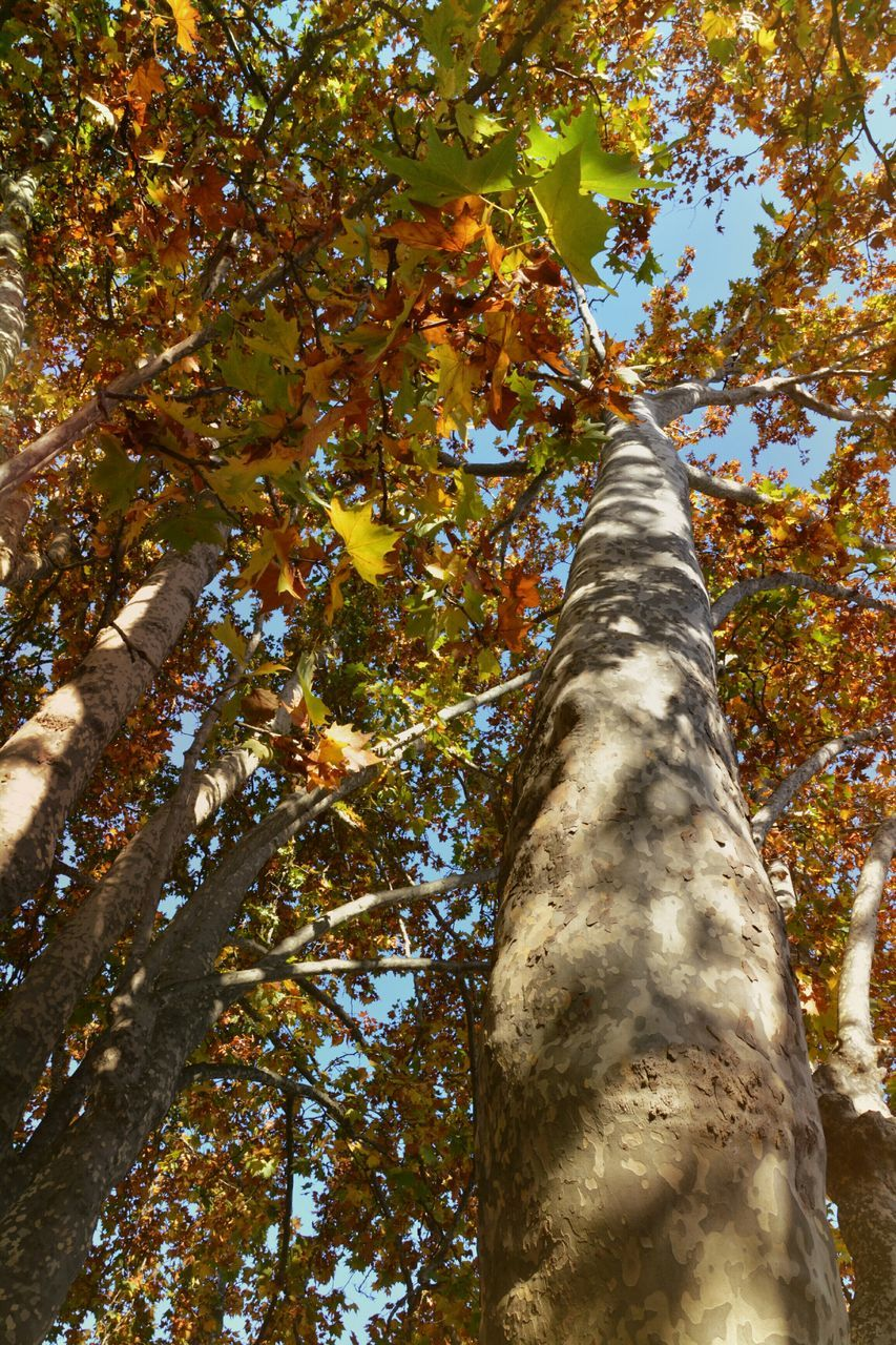 tree, tree trunk, low angle view, leaf, growth, nature, branch, day, outdoors, beauty in nature, no people, autumn, close-up, sky