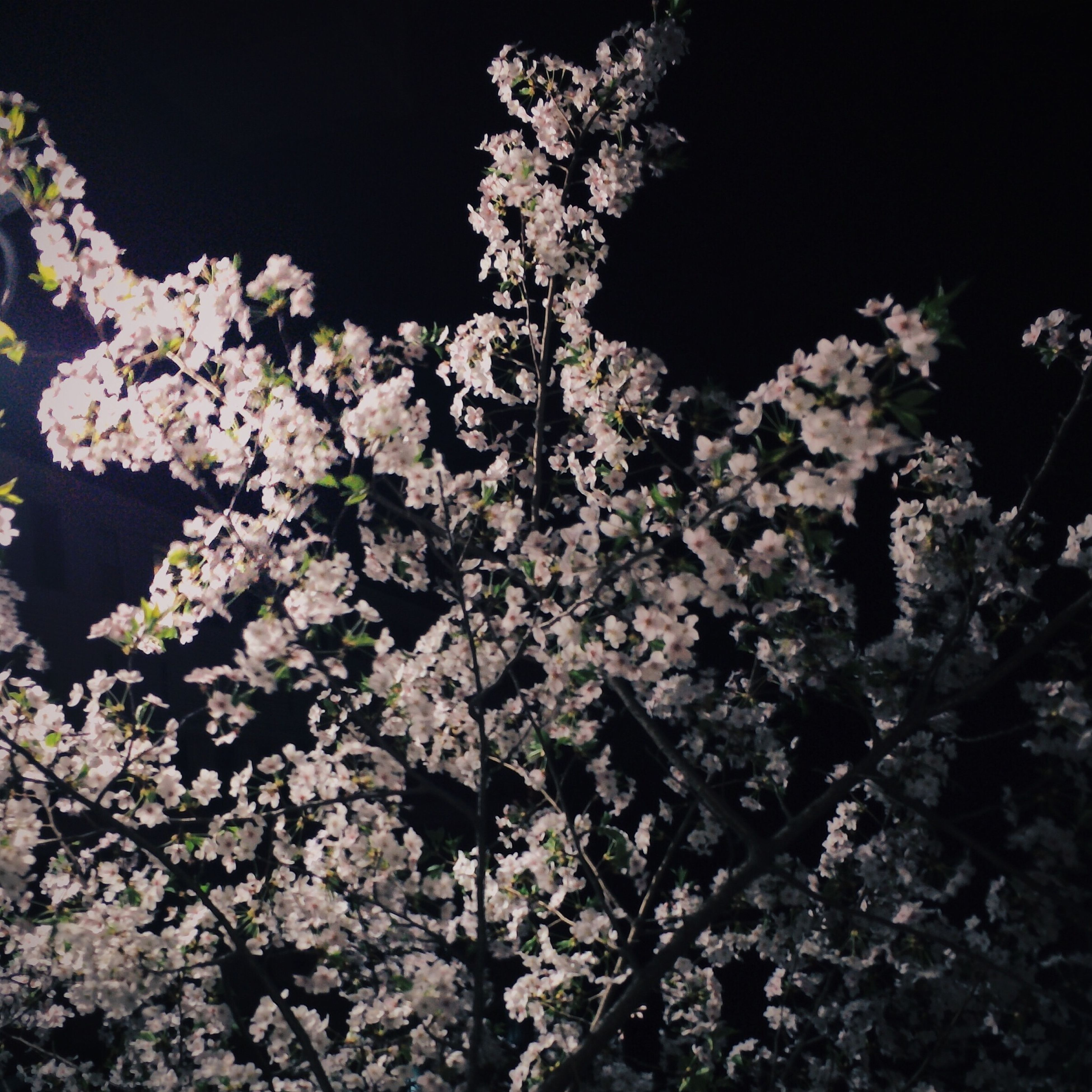 flower, tree, growth, low angle view, branch, beauty in nature, night, nature, freshness, fragility, blossom, clear sky, in bloom, outdoors, cherry blossom, white color, blooming, cherry tree, no people, plant