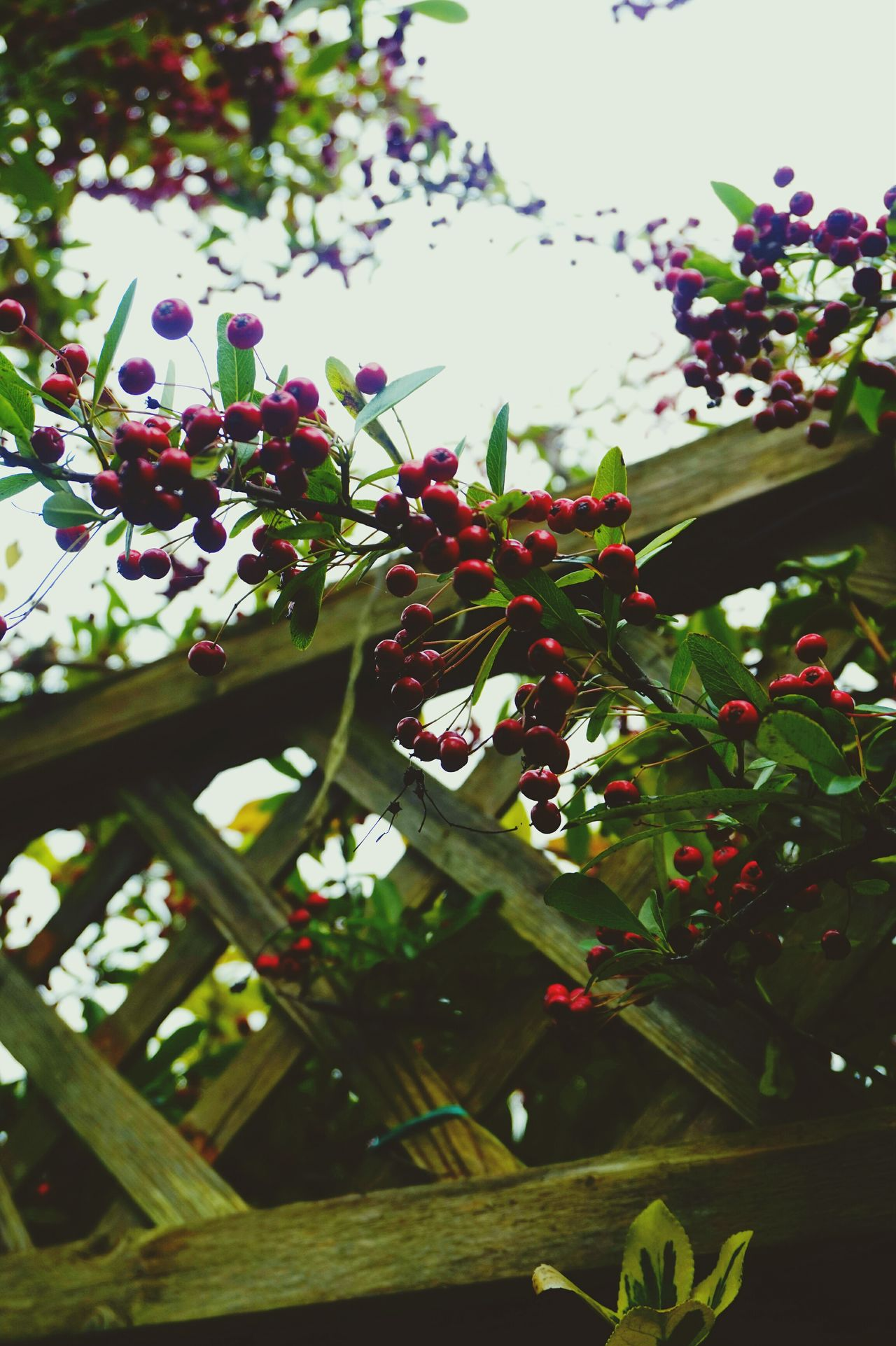 Wild cherries | Red Red And Green Leaves Wild Cherry on the Fences