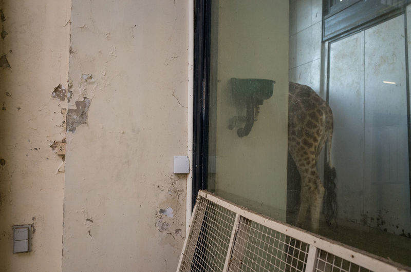 The giraffe Antwerp Antwerpen Belgium Giraffe Ricoh Gr Street Photography Zoo Zoo Antwerpen