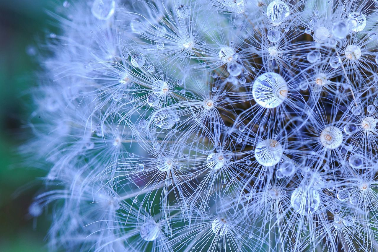 Beautiful stock photos of shanghai, Close-Up, Dandelion, Day, Detail