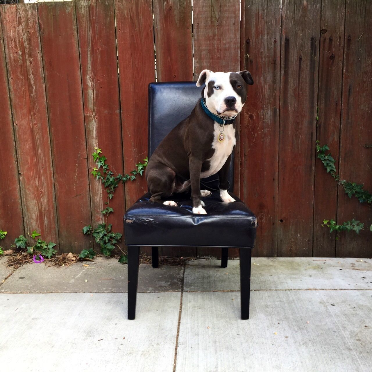 Beautiful stock photos of pitbull, Animal Themes, Chair, Collar, Day