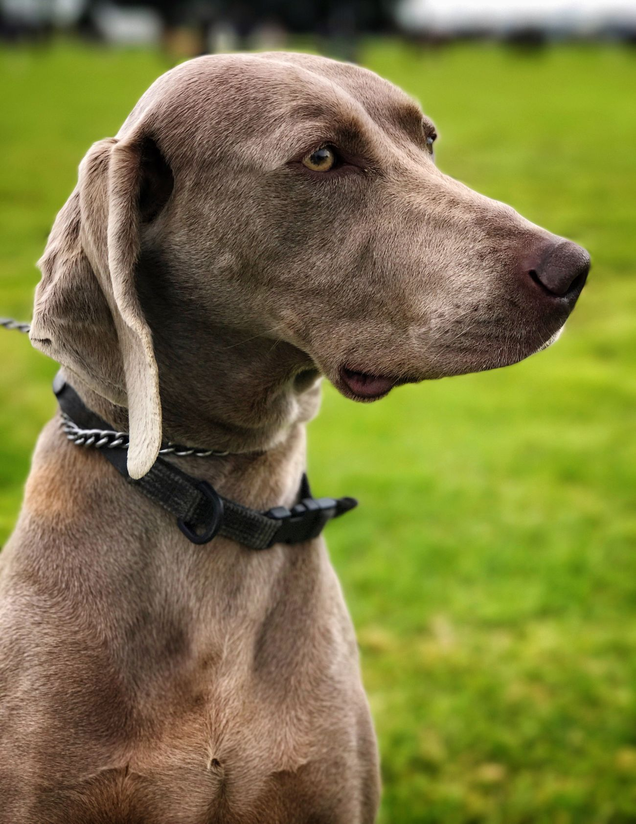 Dog Pets Domestic Animals Animal Themes Mammal Focus On Foreground One Animal Pet Collar Weimaraner No People Field Outdoors Close-up Day Grass Nature