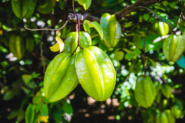 OKINAWA, JAPAN Okinawa Star Fruit  Close-up Food Freshness Fruits Green Color Growth Harvest Time Leaf Nature No People Outdoors Plant Star Fruits Tree 沖縄