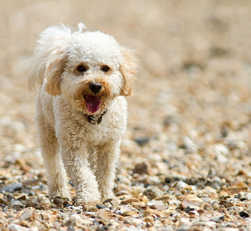 Alertness Animal Animal Head  Animal Themes Cavapoo Close-up Cute Day Dog Domestic Animals Focus On Foreground Mammal Mouth Open Nature No People Outdoors Pets Portrait Selective Focus Young Animal