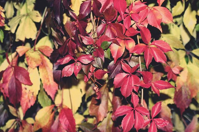 Autumn Nature Plant Outdoors Colourful Red Leaves Beatifulday Athome  Goodbyesummer Coldweather 🌱🍁