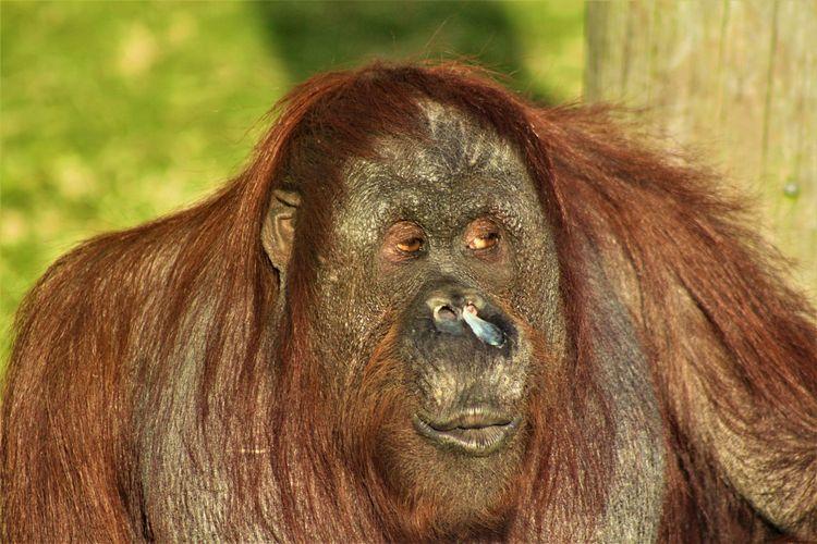 Animal Themes Animal Wildlife Animals In The Wild Ape Close-up Day Mammal Nature No People One Animal Orangutan Orangutan Blowing A Kiss Outdoors Primate