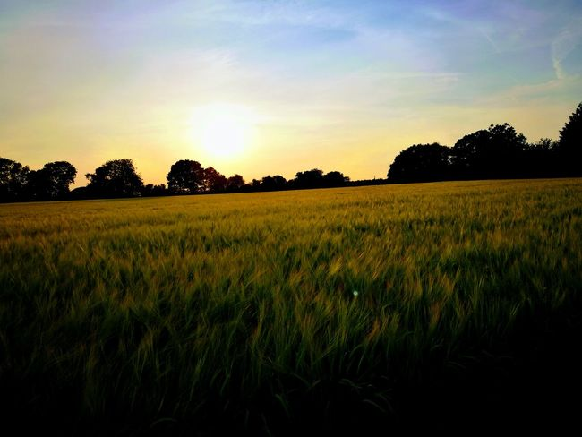 Es es awesome Agriculture Field Crop  Tree Cereal Plant Nature Outdoors Landscape No People Rural Scene Sunset Growth Scenics Sky Day Beauty In Nature Freshness