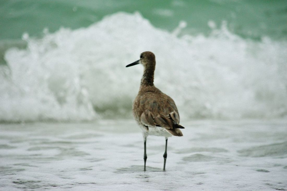 Sand piper in the ocean waves on St. Pete. Beach, FL. Animal Themes Beauty In Nature Bird Close-up Day Focus On Foreground Nature Nature Nature Photography Nature_collection No People Ocean Ocean Waves Outdoors Sandpiper Selective Focus Water Wave Waves Waves Crashing Waves, Ocean, Nature Wildlife
