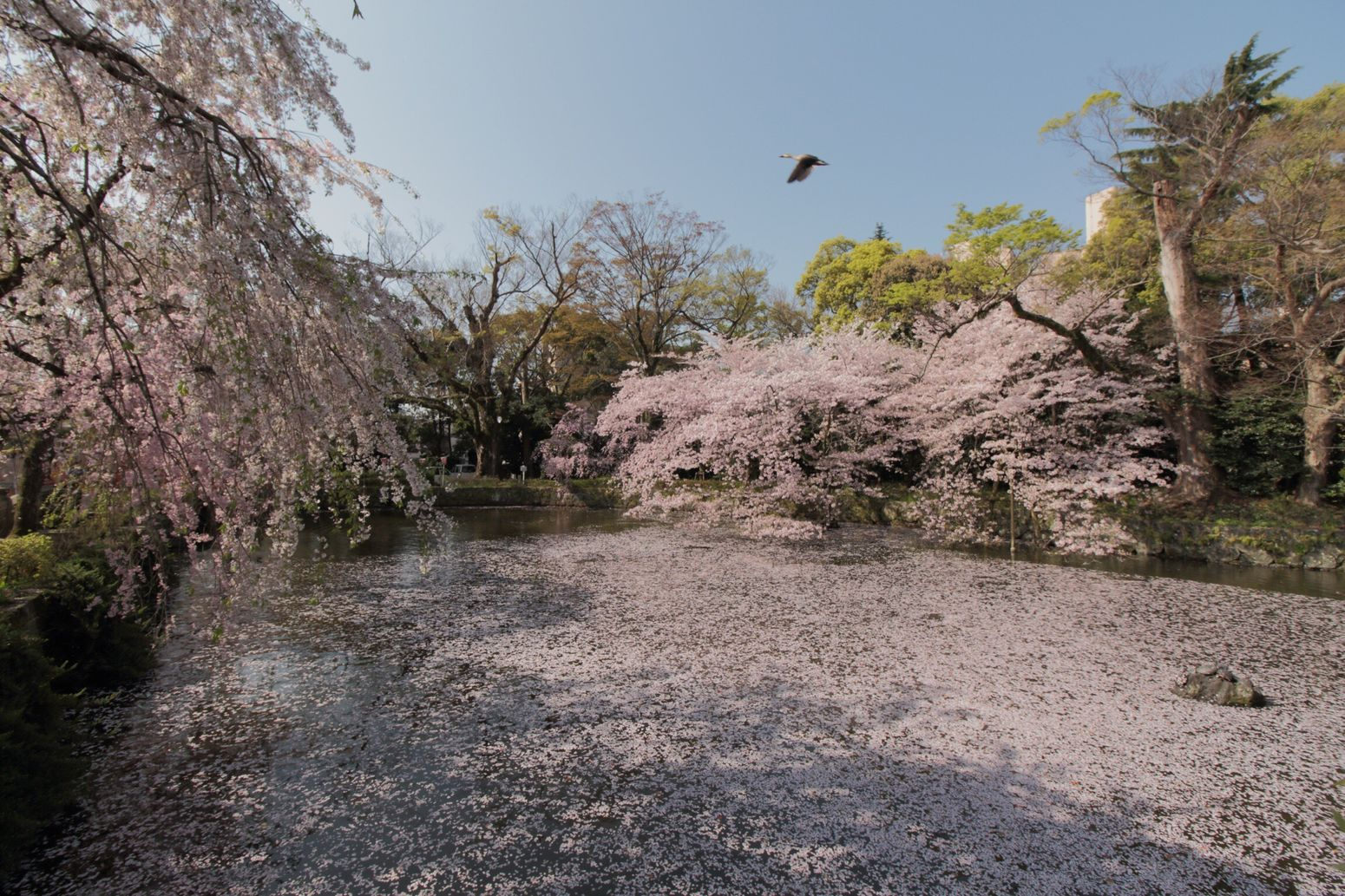 Pond Nature Beauty In Nature Loveさくら祭り 桜 Blossom Pink Color Tadda Community