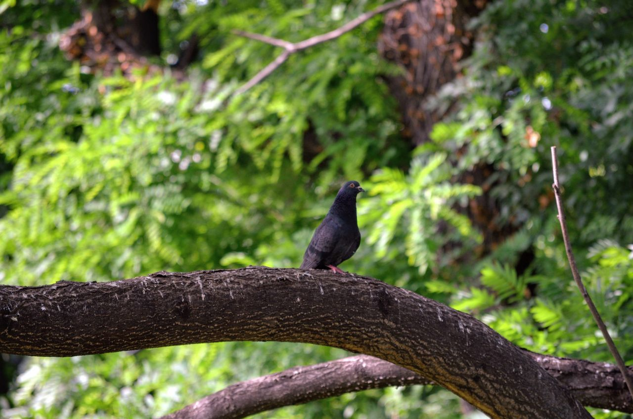 Animal Themes Animal Wildlife Animals In The Wild Beauty In Nature Bird Black Color Branch Close-up Day Focus On Foreground Nature No People One Animal Outdoors Perching Raven - Bird Tree