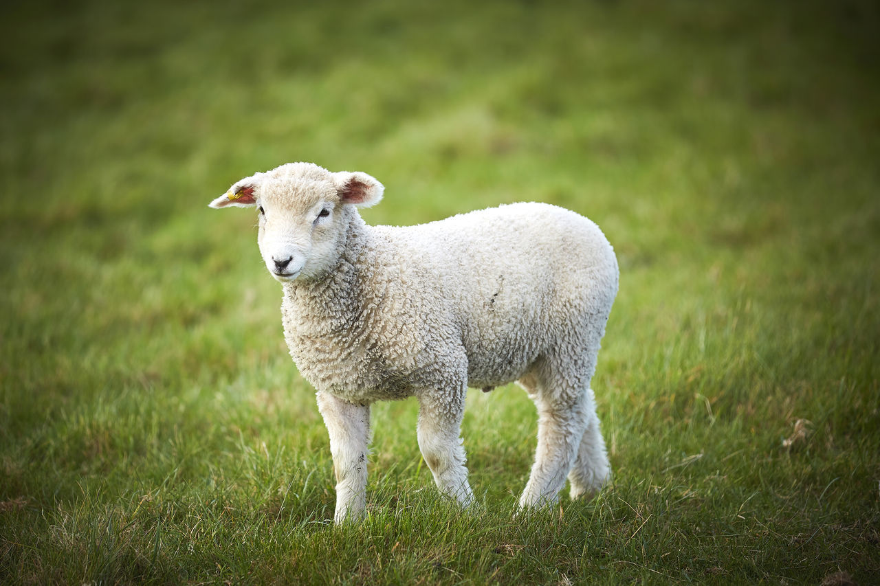 Animal Themes Cute Lambs Field Grass Lamb Livestock Mammal Nature No People One Animal Outdoors Sheep Standing