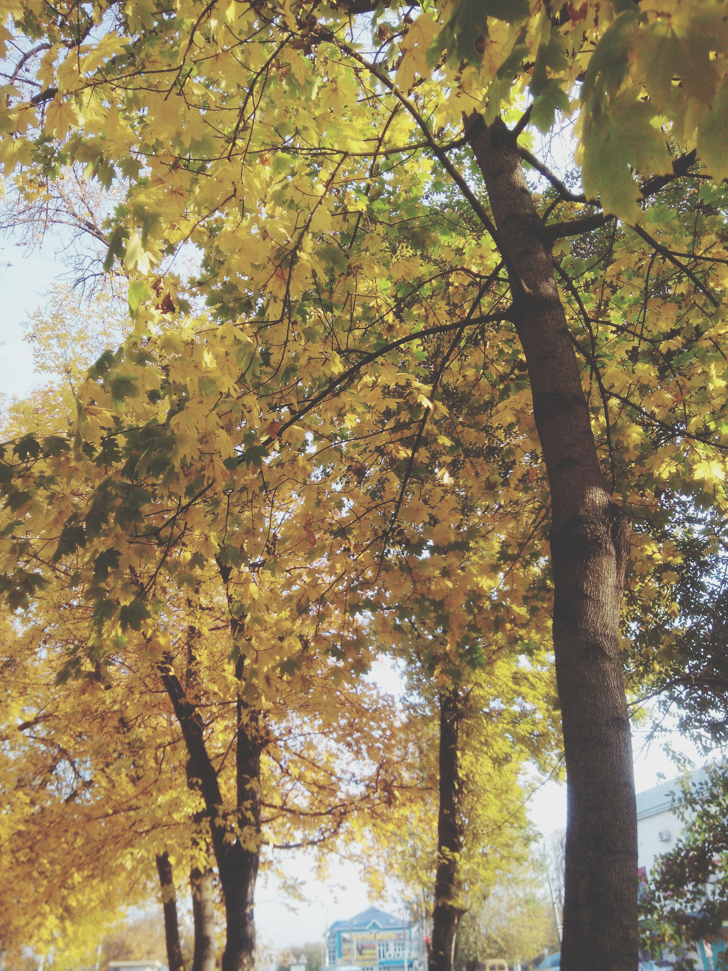 tree, branch, low angle view, growth, tree trunk, yellow, autumn, nature, beauty in nature, sunlight, day, change, sky, outdoors, tranquility, leaf, no people, built structure, season, building exterior