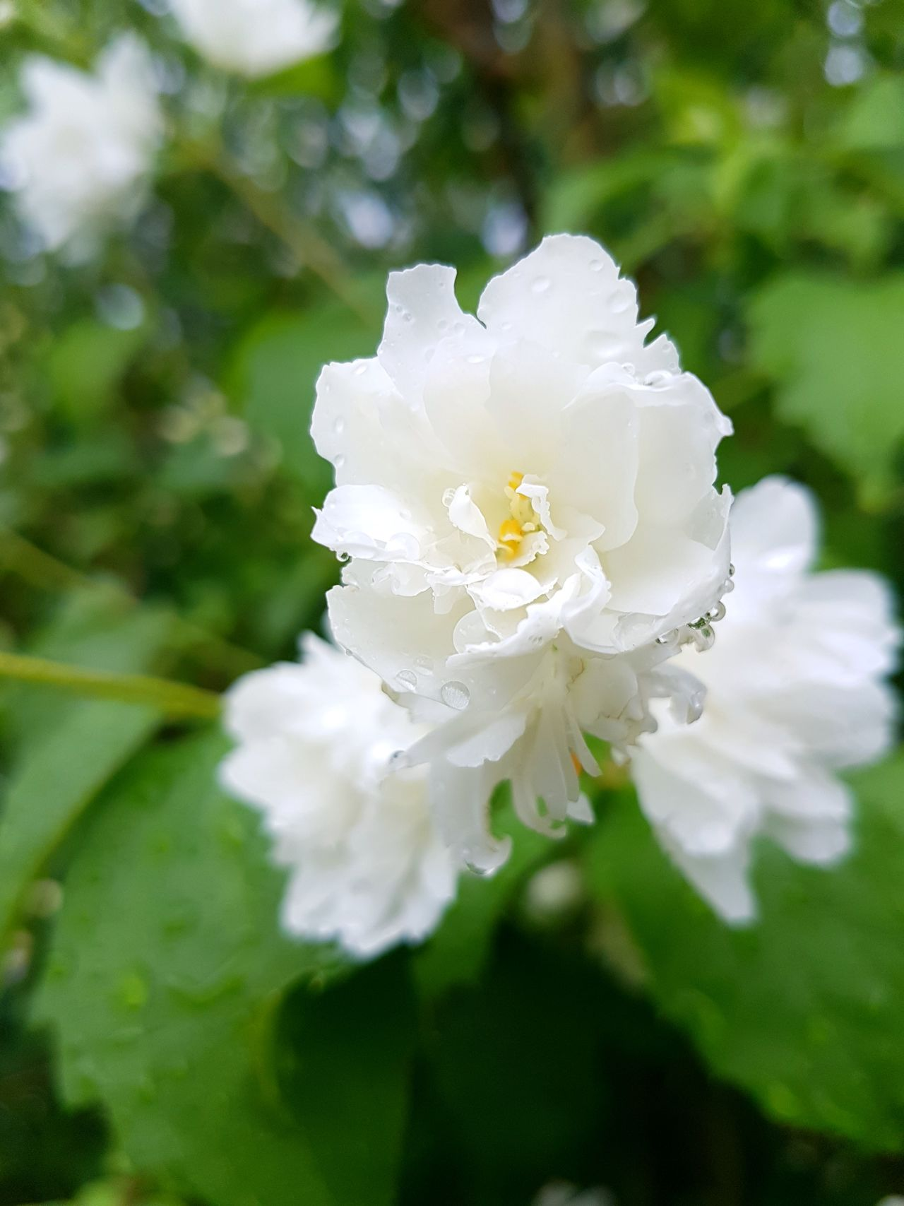 Flower White Color Close-up Nature Petal Day Fragility No People Flower Head Plant Focus On Foreground Outdoors Jasmin Jasmine Flower Jasmine Tea Herbal Sun Raindrops Rain Afterrain After Rain Beauty In Nature Freshness Growth