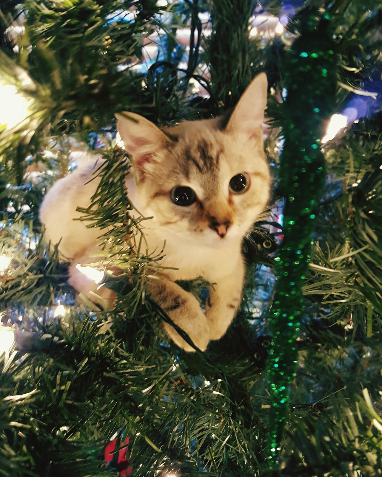 Cat In Christmas Tree Cat In A Tree My Cats I Love My Cats  Hanging Out Christmastime Catsofinstagram Cats Of EyeEm Catslife