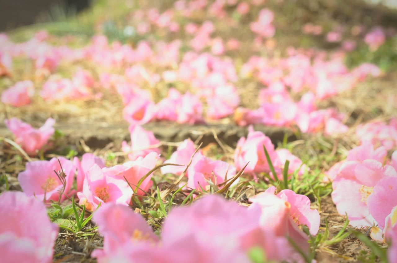 椿 ピンク 花 Camellia Pink Flower First Eyeem Photo Showcase March