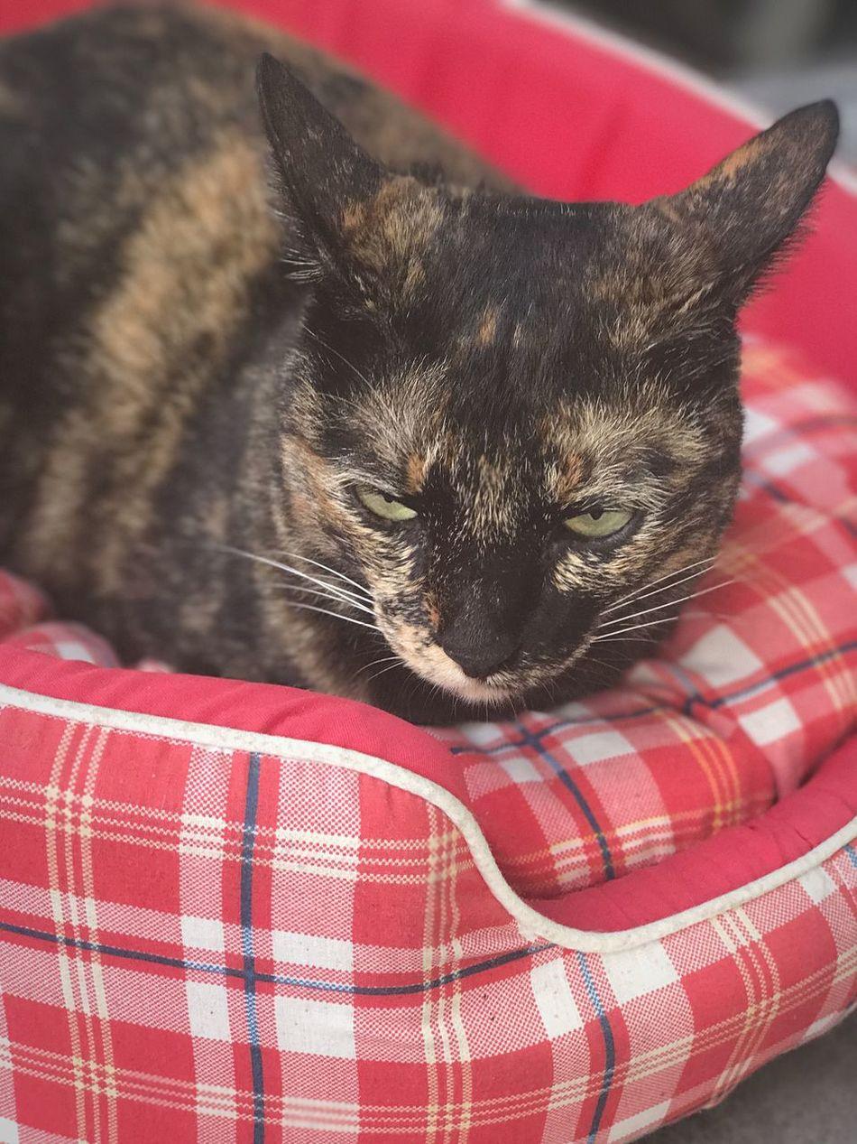 สวัสดีตอนเช้า ..เหมียวลามสีนอนอุ่น.. Goodmorning EyeEm  Siamese Cat Siamesecat Siamesecats Domestic Animals Domestic Cat Animal Themes Pets EyeEm Cat Eyeemcats EyeEm Pets