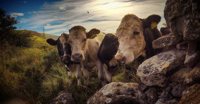Cows Mountains Field Sky Sunlight Sun Summer Nature Outdoors Animals Travel Landscape Photography Panorama Farm Cows In The Feilds Wales UK Flies Bovine Countryside Pylon Grass Clouds Bovines Mountain View