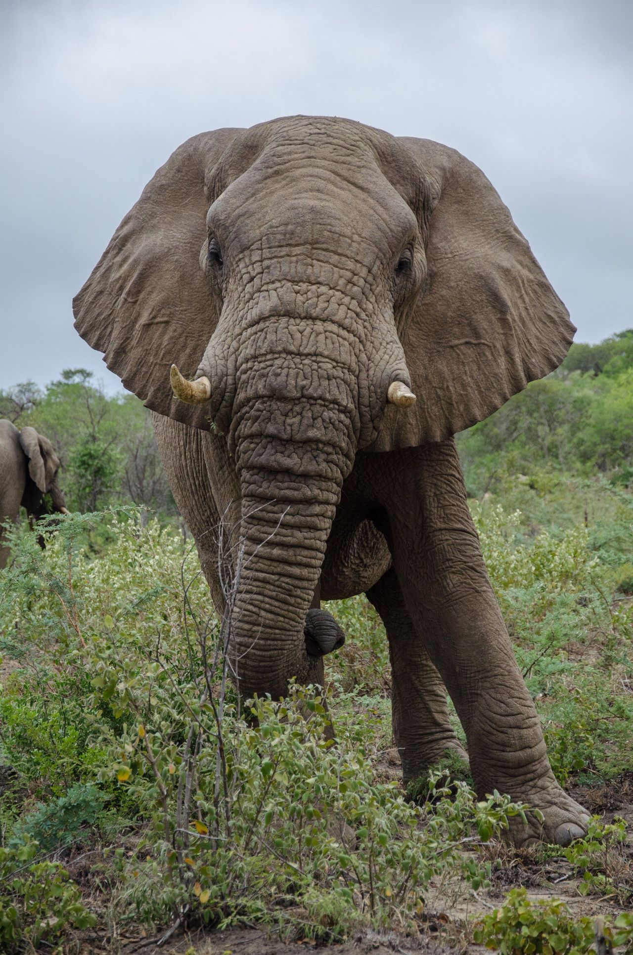 elephant @ hluhluwe NP Animals In The Wild South Africa