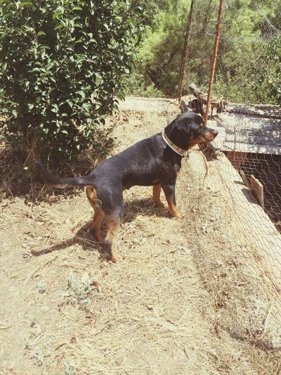 Rottweiler Dog Black Paşa