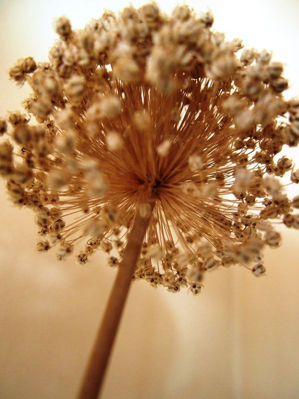 Close Up Dried Flowers Flower Head Gone To Seed Sepia Dried Plant Abstract