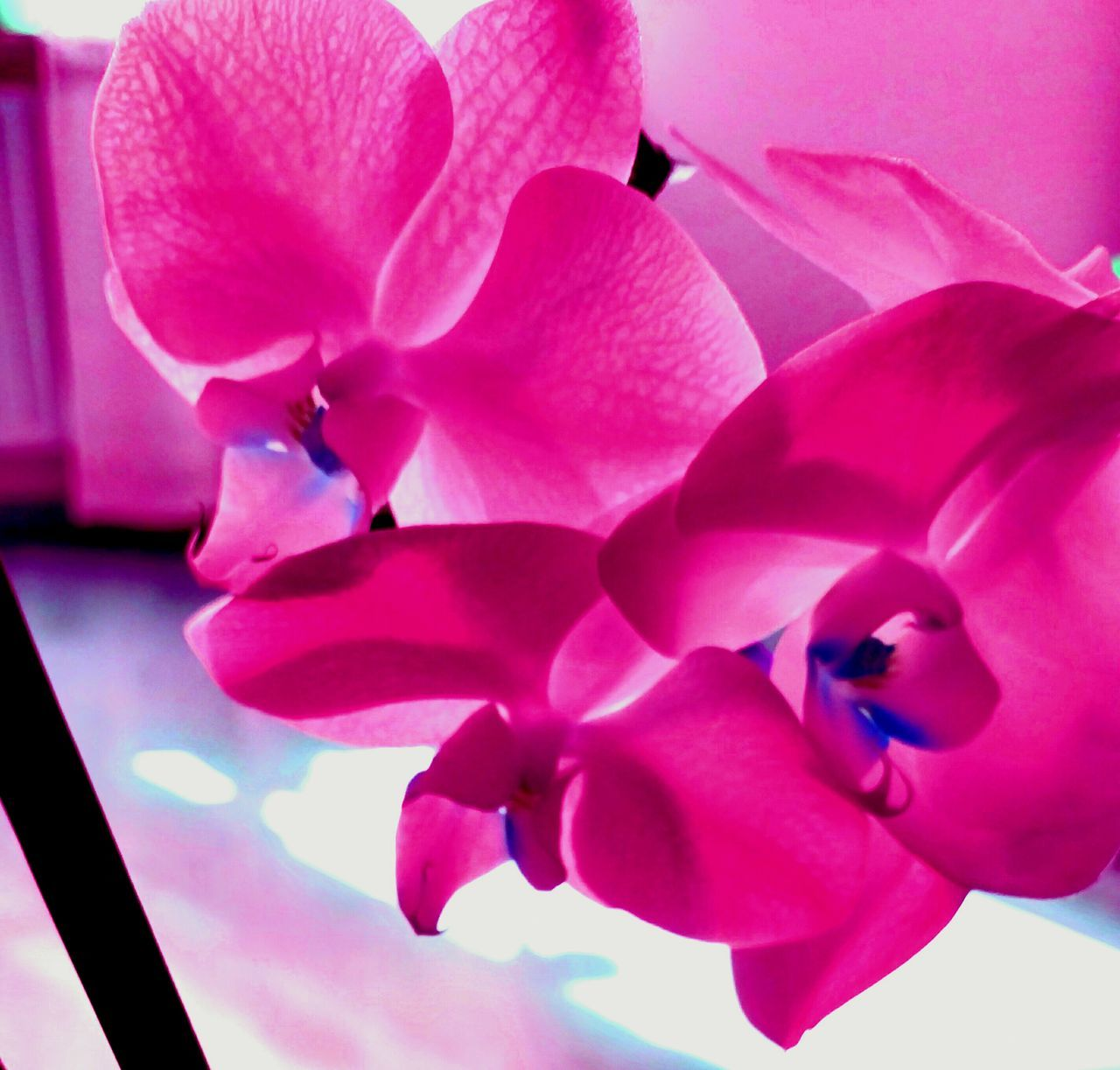 pink color, petal, flower, beauty in nature, no people, close-up, nature, growth, fragility, flower head, day, indoors, freshness