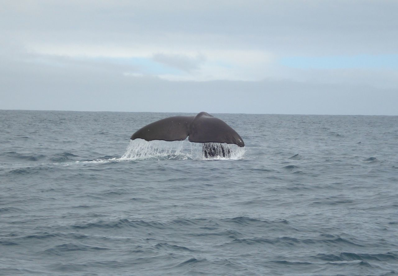 Whale Humpback Humpback Whale New Zealand Kaikoura Wildlife Fluke  Eyem Nature Lovers  EyeEm Nature Lover