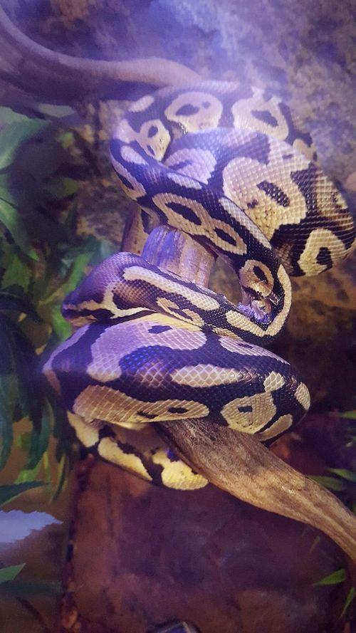 Pythonregius Python Royal Snake