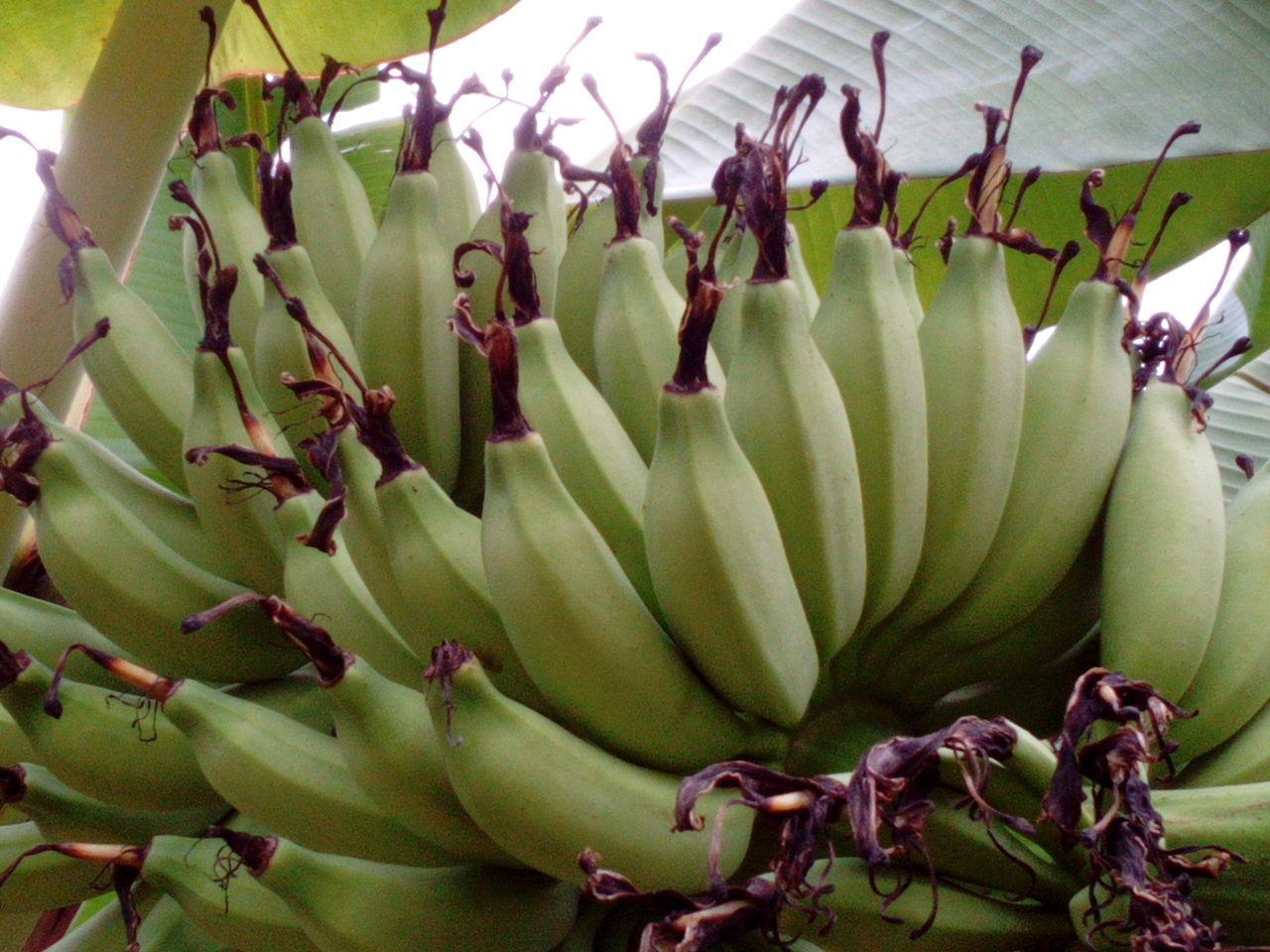 Bananas Organic Food Green Bananas Banana Tree Healthy Food Fruit Jakarta Indonesia