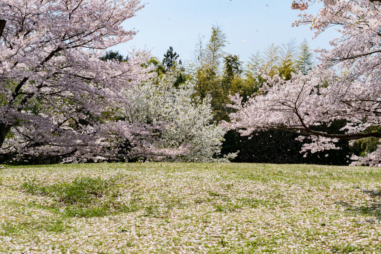 It is next year that we can see this scenery. I was taking photo with the cherry blossom trees. A passing old man taught me this place. He said that you should go tomorrow. What a heaven like this!!!!!!!!! Beauty In Nature Blossom Branch Day Field Flower Fragility Freshness Grass Growth Heaven Nature No People Outdoors Sakura2017 SakuraFubuki Scenics Sky Springtime Tranquility Tree 桜吹雪 桜天国 極楽 Copy Space google翻訳って怪しい😬