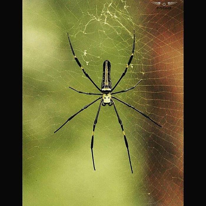 Sonyalpha Nex5r Spiders Plantation Spiderweb Spidersofinstagram Instagram Instagood Photographysouls Ludwig