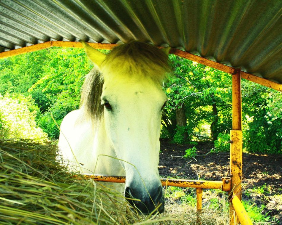 Horse Cheval Cheveaux Popular Photos Popular EyeEm Best Shots Eyem Gallery EyeEm Gallery Animal Portrait Animal Themes Animal Photography Scène De Vie Selective Focus One Animal Tranquil Scene Sunny Day Horses Horse Love Horse Photography  Horse Photography