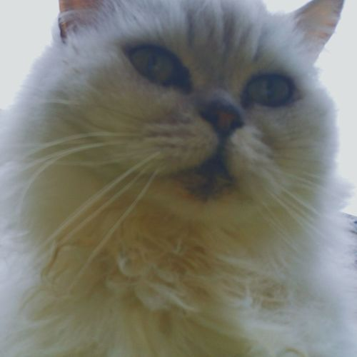 My Cat Freddie Taking Photos Cheese! Feline Stuart Little Persian Handsome Boy Cats Eyes Cute Little Nose
