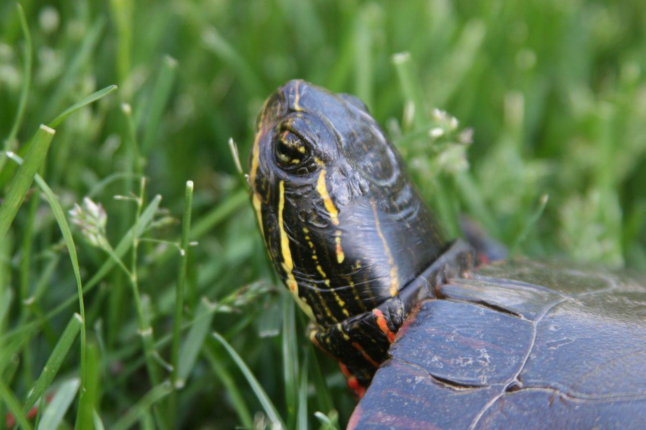 Painted Turtle