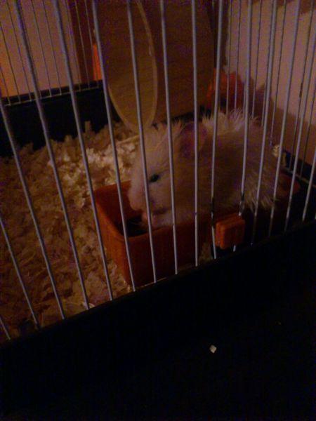 Her name is Mery Hamsters Hamster Hamster Love My Hamster Hamster ♡ Hamster(:  Hamsteeeer ♥ Cute Hamster