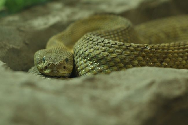 Rattle snake. Picture was taken at the Los Angeles Zoo Losangeles California Snake Snake Eyes Zoo Animals Reptile