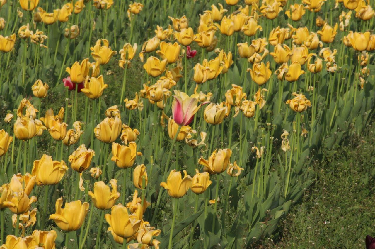 Day Fresh On Eyeem  Freshness Indira Gandhi Memorial Tulip Garden Natural Beauty Nature Nature Nature Photography Nature_collection Outdoors Srinagar Kashmir Tulip Tulip Garden Tulips Tulips Flowers Tulips🌷 The Great Outdoors - 2017 EyeEm Awards