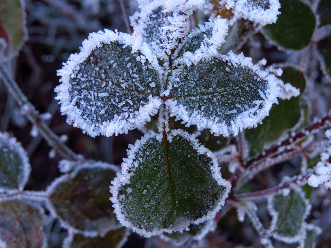 Cold Days Cold Temperature Cold Weather Foliage Frost Frostbite Frosty Frosty Leaves Frosty Mornings Frosty Nature Frozen Frozen Nature Hoar Frost Hoarfrost Icy Leaves Rime White Frost Winter Winter Scene Winter Scenery Winter Season Winter Wonderland Winter_collection Wintertime