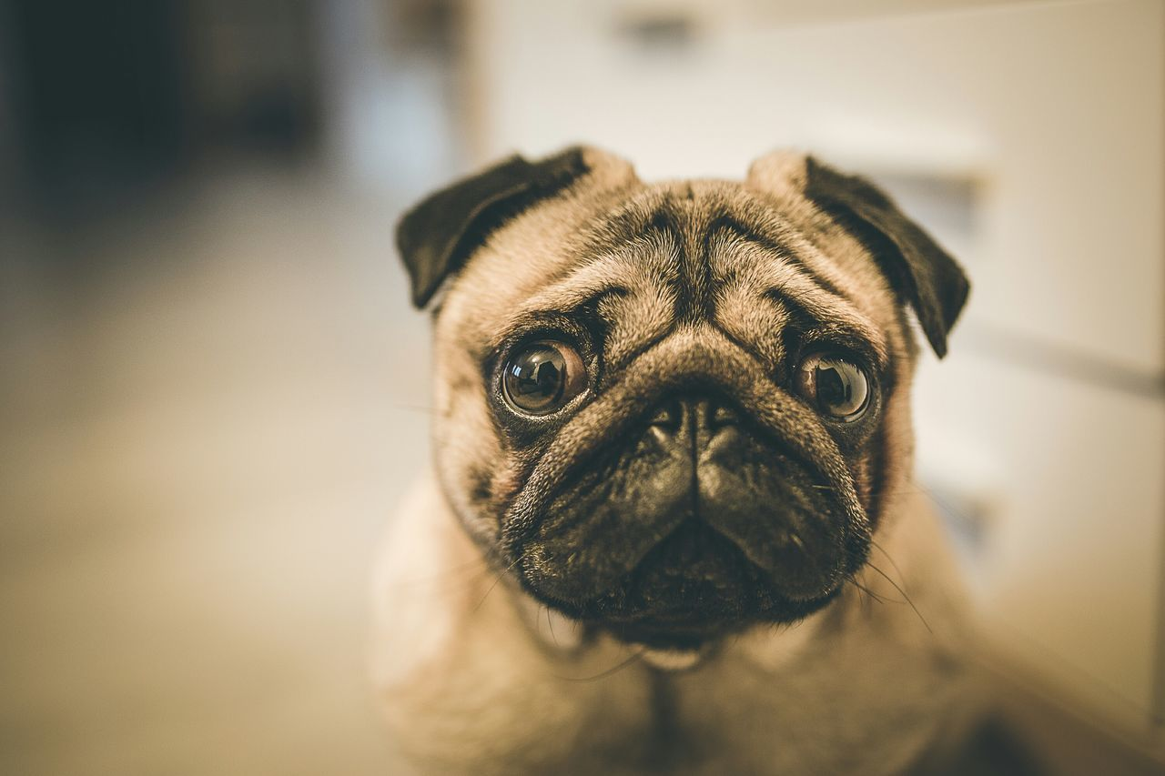 Beautiful stock photos of pugs, Animal Head, Animal Themes, Close-Up, Dog