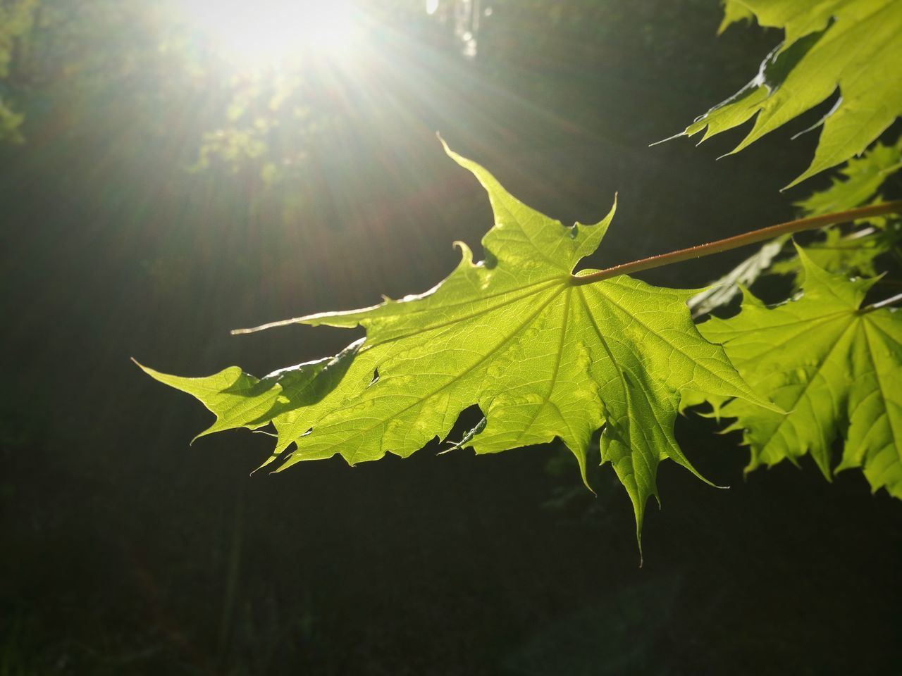 Leaf Nature Outdoors Sunlight No People Day Beauty In Nature Close-up Maple Leaf Green Color Green Leaf Green Park Summer Textured  Forest Light Up Your Life