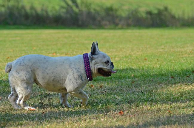 Dog Dogphotography Dog Love Frenchie Französische Bulldogge  Bulldog Bulldogge Animal Tier Nature Natur Nature Photography Hund Hunde Hunde Liebe ♡ Hundefotografie Perro Perra