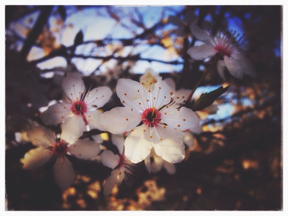 First evidence of Spring...finally! Nature Flower Fragility Close-up Growth Beauty In Nature Blossom Springtime Outdoors No People Petal Tree Stamen Flower Head Day Freshness Plum Blossom In Bloom White Faded Spring IPhoneography