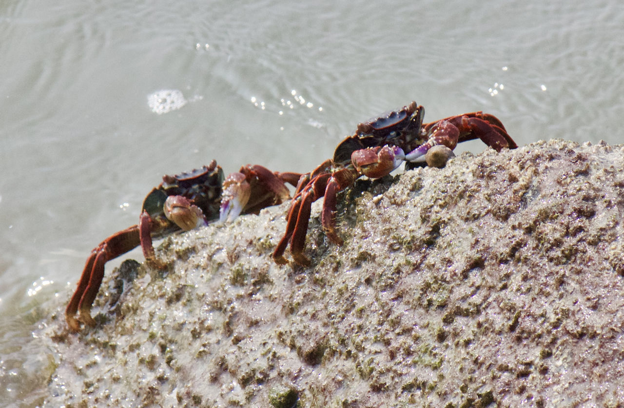 Crab on the rock ... Animal Themes Animal Wildlife Animals In The Wild Beauty In Nature Climbing Crab Crustacean High Angle View Legs Live Livestock Moving Water Natura Natural Beauty Nature Outdoors Pair Red Red Crab Rock Scenics Tranquility Water Waterfront