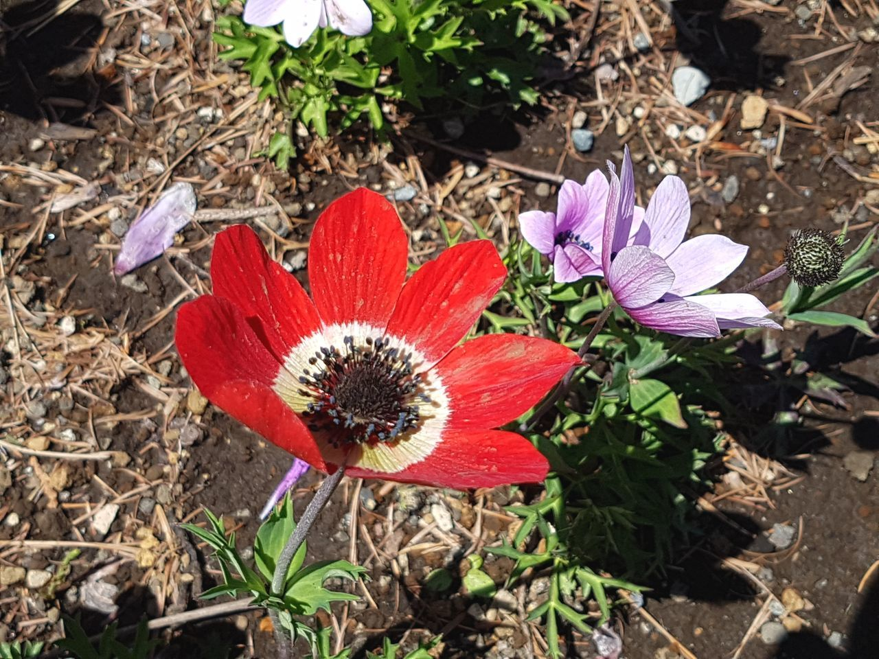 Flower Plant Nature Fragility Flower Head Beauty In Nature Growth Petal Red Outdoors Freshness Pollen Close-up Day No People Poppy Flowers Perennial