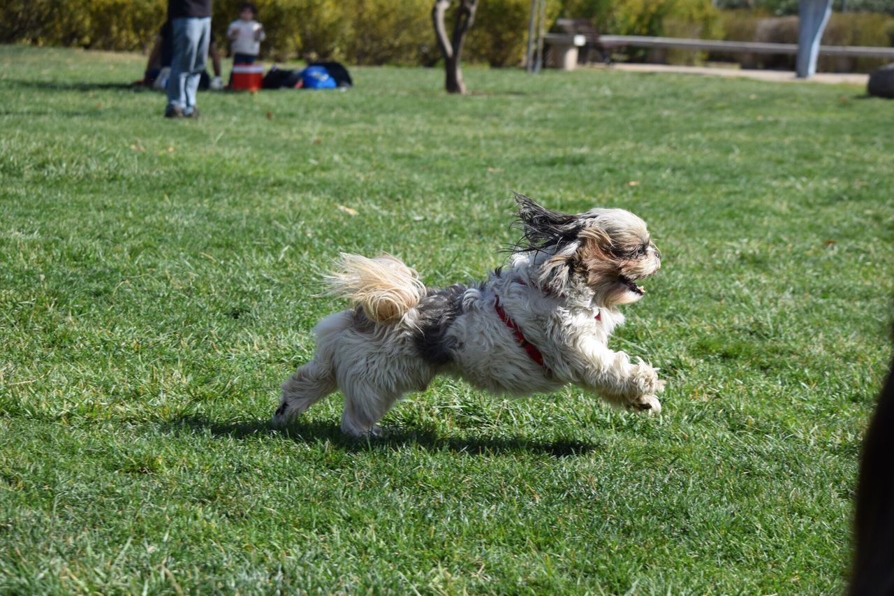 dog, grass, pets, animal themes, domestic animals, one animal, outdoors, green color, day, field, nature, shih tzu, mammal, no people