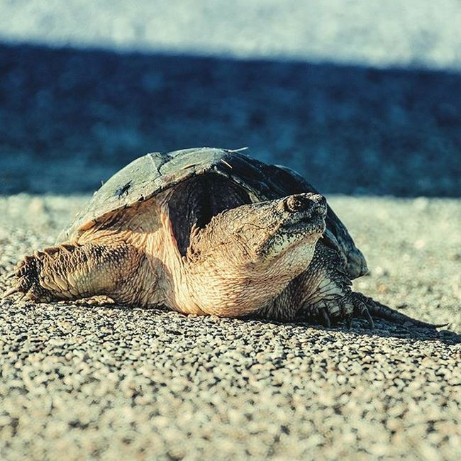Saw this little fellow about to cross the street on our way back from ChincoteagueIsland . After looking both ways it turned back and returned to its mate in the cool marshy water. Islandlife Turtle Snappingturtle Shell Oldie  Wrinkles 50plus Marsh Ocean Atlantic Mosquitos Beach Lookbothways Toomuchtraffic Brotrip Instadaily Ztprod