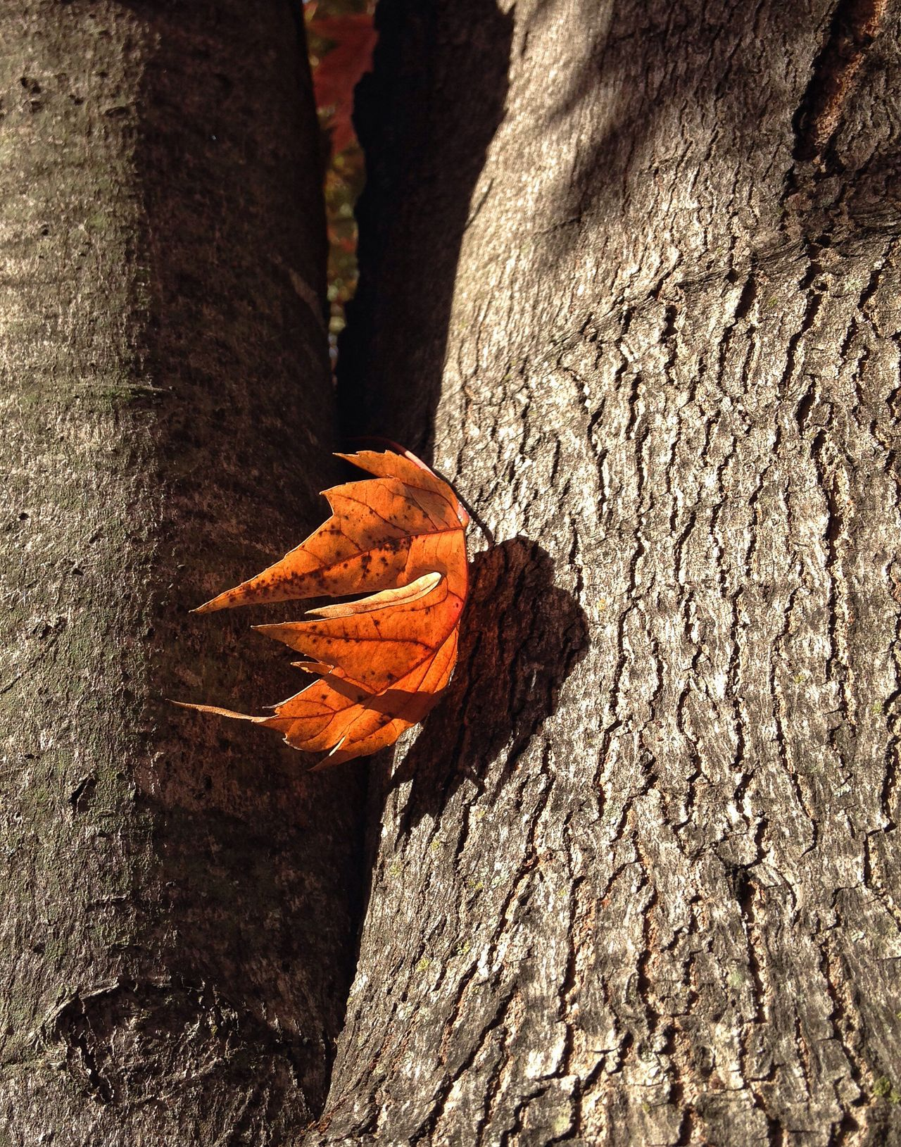 Autumn Autumn Leaves Tree Trunk Nature_collection Naturelovers Textured  Close-up Bark Botany Nature Orange Color Beauty In Nature Fragility Rugged Tranquility Vibrant Color One Lone Leaf