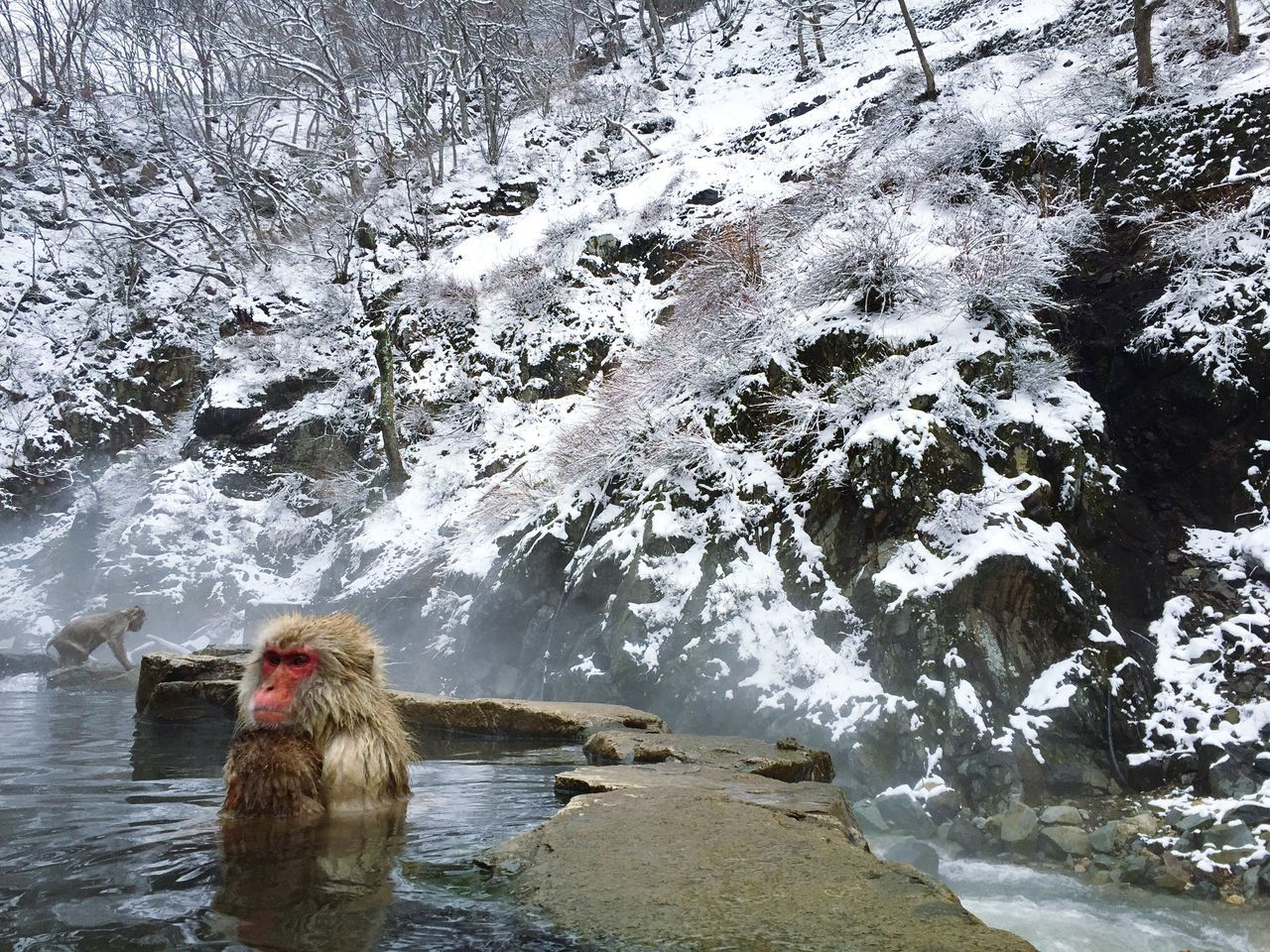Favourite part of my trip to Japan so far? Probably visiting the monkeys bathing in the hot springs. Monkey Hot Springs Japan Open Edit RePicture Travel The Traveler - 2015 EyeEm Awards Share Your Adventure The Great Outdoors - 2015 EyeEm Awards